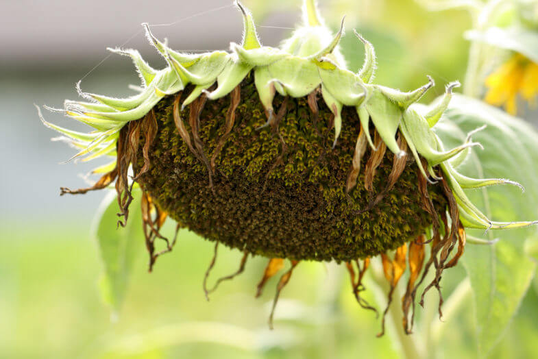 wither sunflower