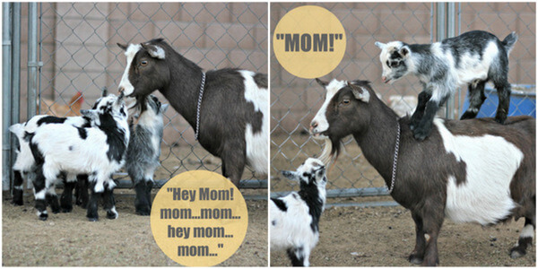 cute baby goats with speech caption