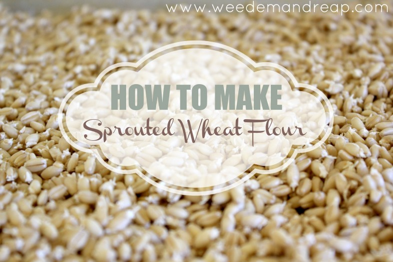 sprouted-wheat-flour