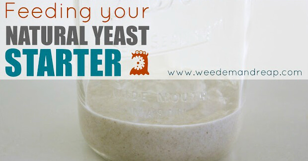 feeding-natural-yeast2-e1376169918713