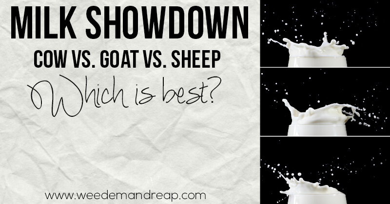 cow-goat-sheep-which-is-best