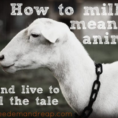 How to Milk a mean 'ol Animal…and live to tell the tale.