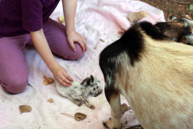 Smallest Goat In The World Her littlest baby goat,