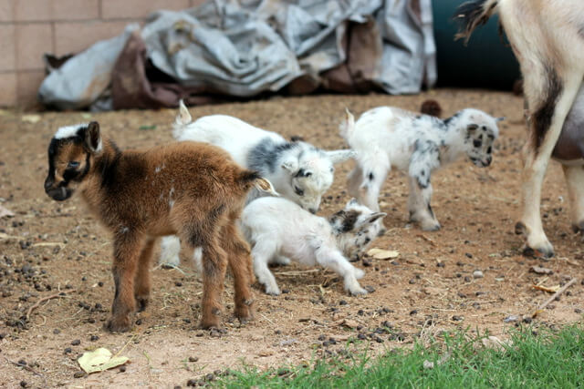 Just for fun! A short tale of the littlest goat you ever did see!