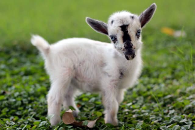 Smallest Goat In The World Sometimes the littlest goat