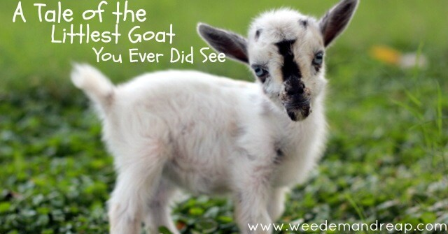 a tale of the littlest goat