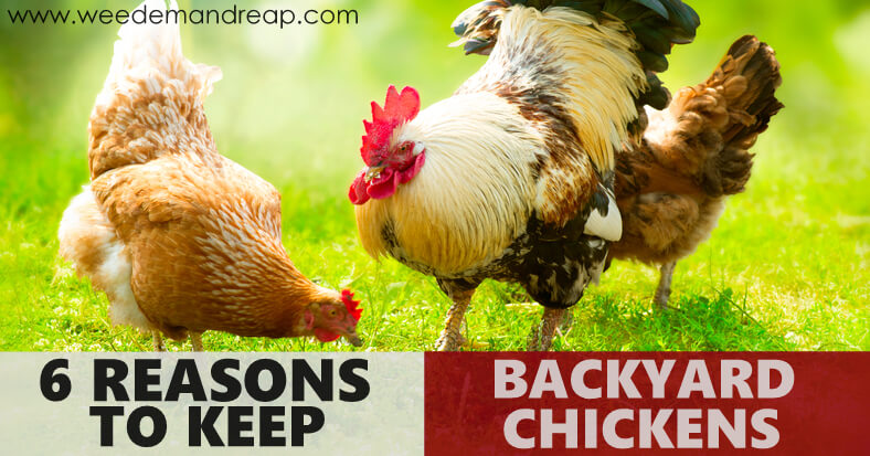 6 Reasons to Keep Backyard Chickens