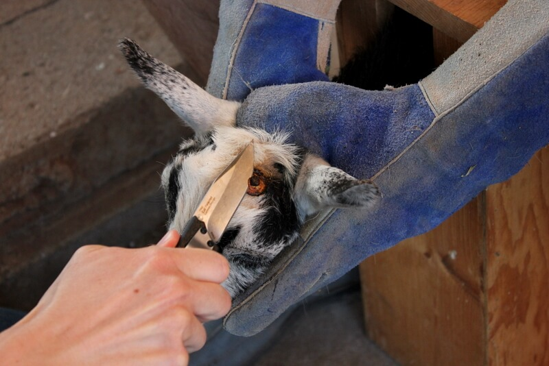 How to Disbud & Dehorn Baby Goats