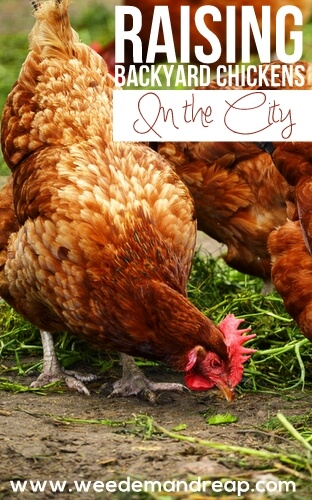 How to raise backyard chickens in the city.