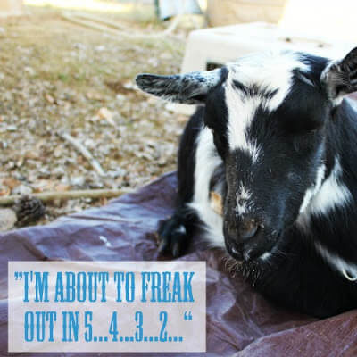 The most HILARIOUS Goat Birth EVER
