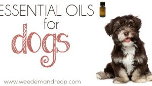 essential oils dogs