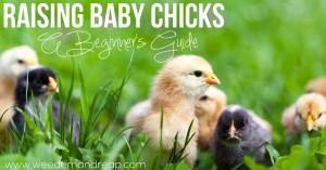 raising-baby-chicks-beginner