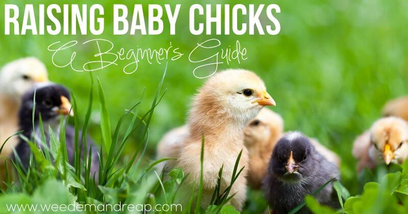 raising-baby-chicks-beginner