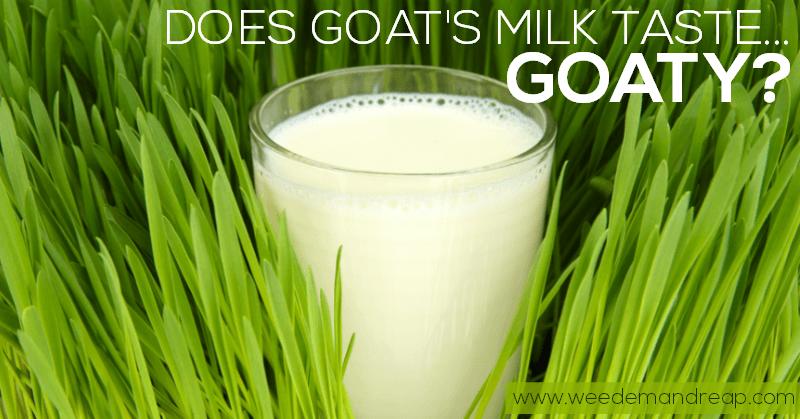 Goat milk taste