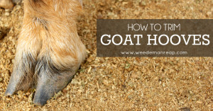 how-to-trim-goat-hooves