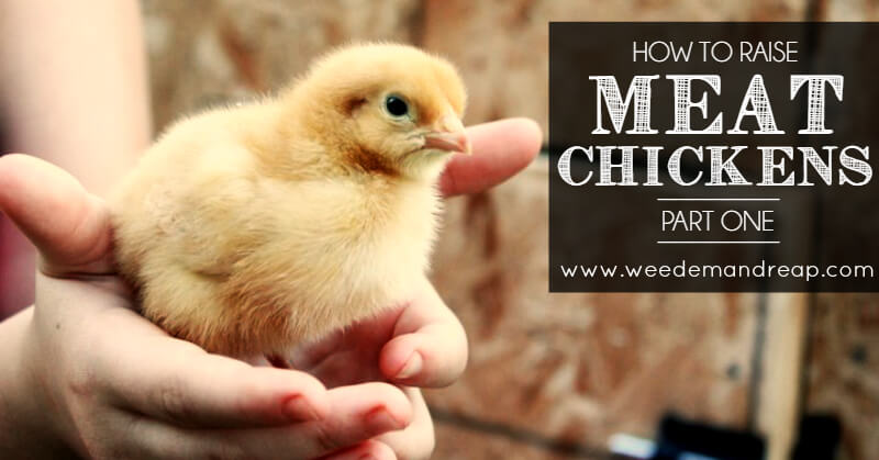 how-to-raise-meat-chickens