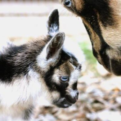 Our Baby Goats are Born!
