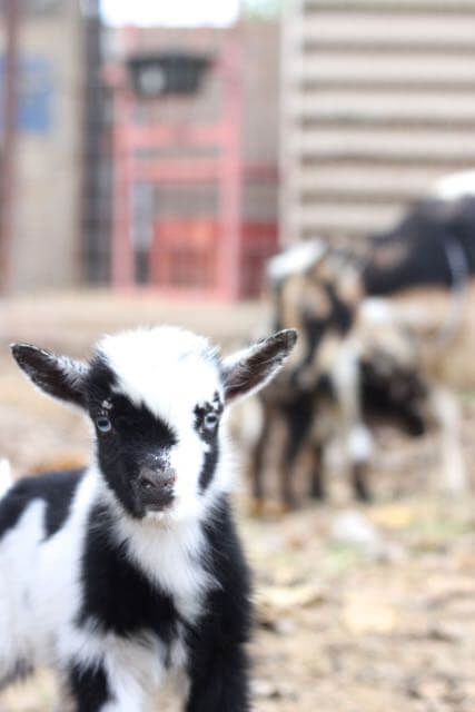 Black and white baby goat with blue eyes