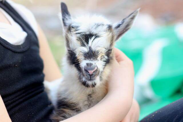 Close-up of a baby goat with eyes closed