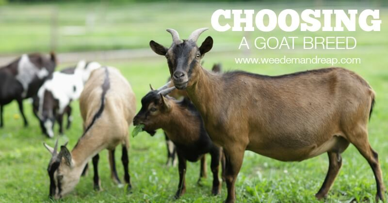 Choosing a Goat Breed | Weed Em' and Reap