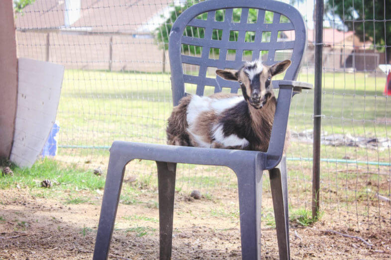 goat in a plastic lawn chair