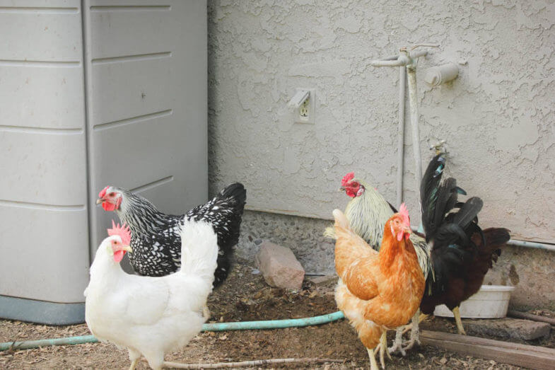 various breeds of chicken behind the house