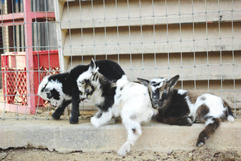 three baby goats hanging out