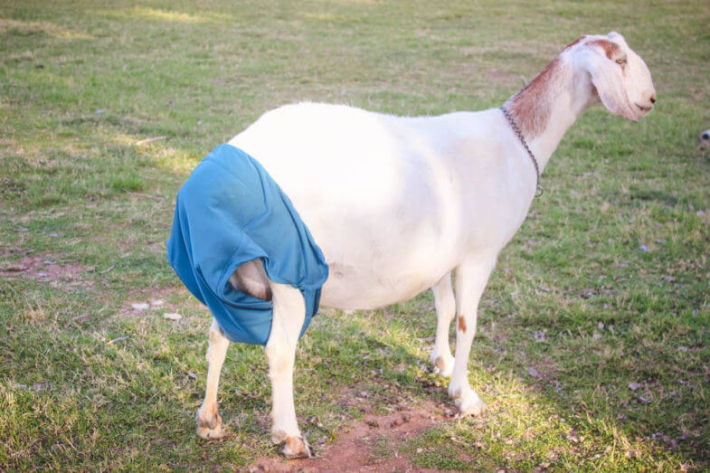 There's nothing like find a natural solution to a problem on the farm. My most recent one? Cloth diapers for goats!