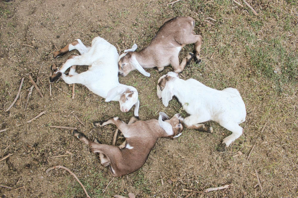 four cute baby Nubian goats