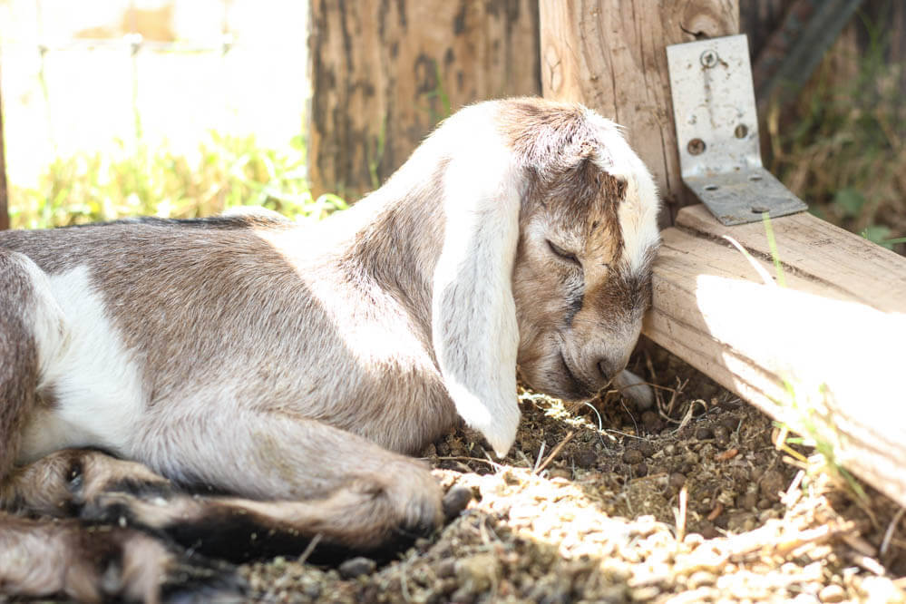 sleeping mixed color baby Nubian goat