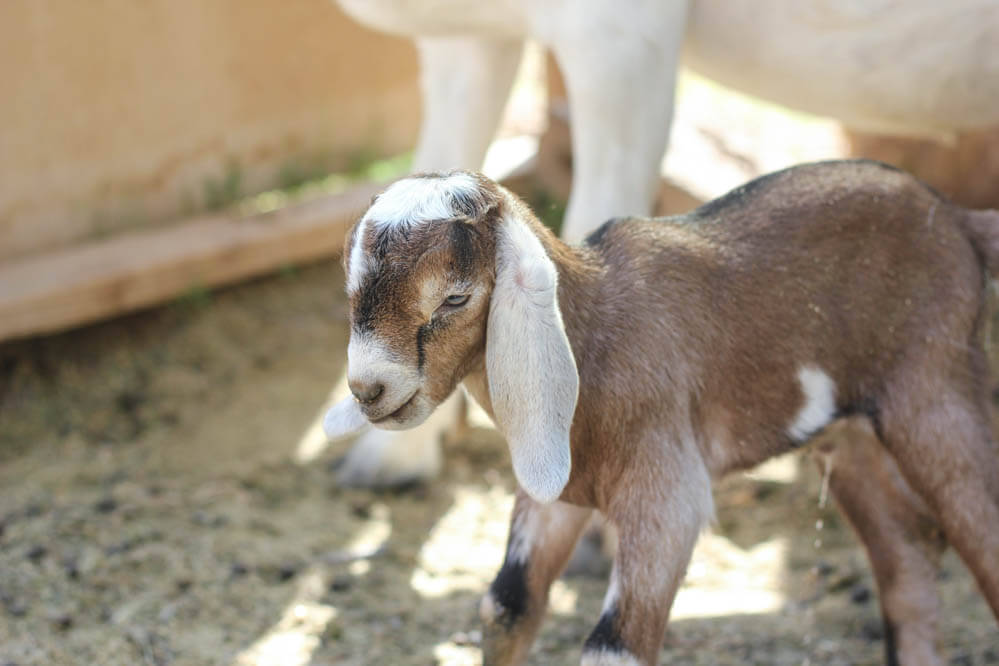 brown and black baby Nubian goat