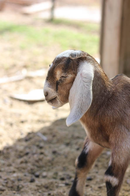 Nubian baby goat with closed eyes