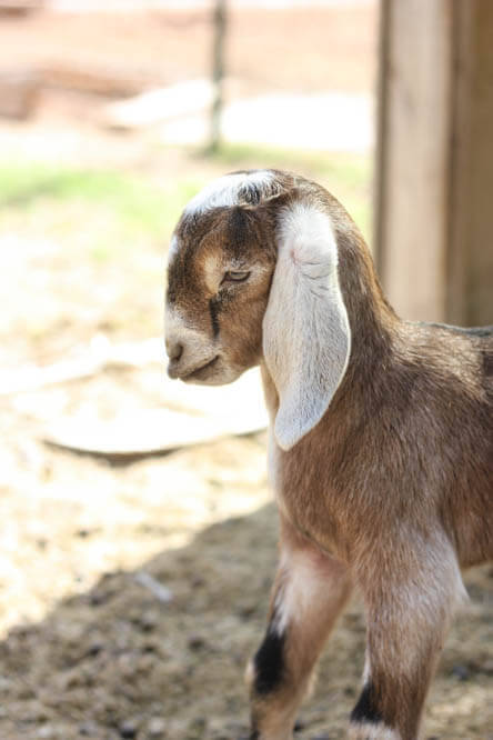 disgusted baby Nubian goat