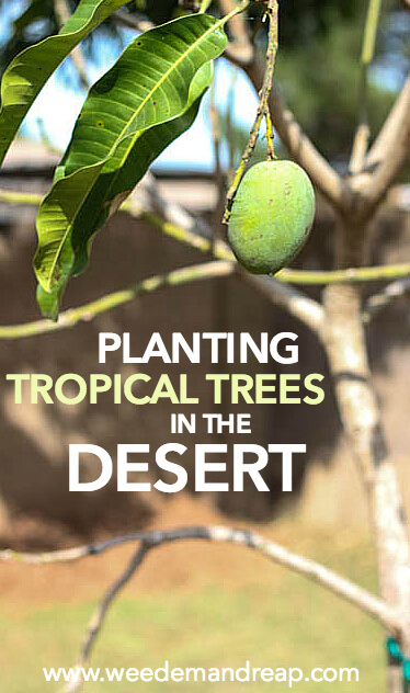 Tropical trees? In the DESERT?! It's a lot easier than it looks. Prepare for the funnest gardening project you've ever seen.
