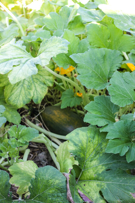 cucumber growing with leaves and blossoms