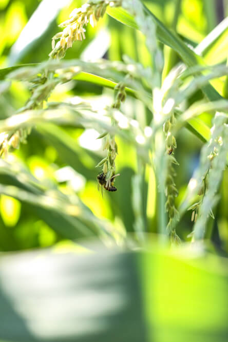 close up of bee on corn blossom