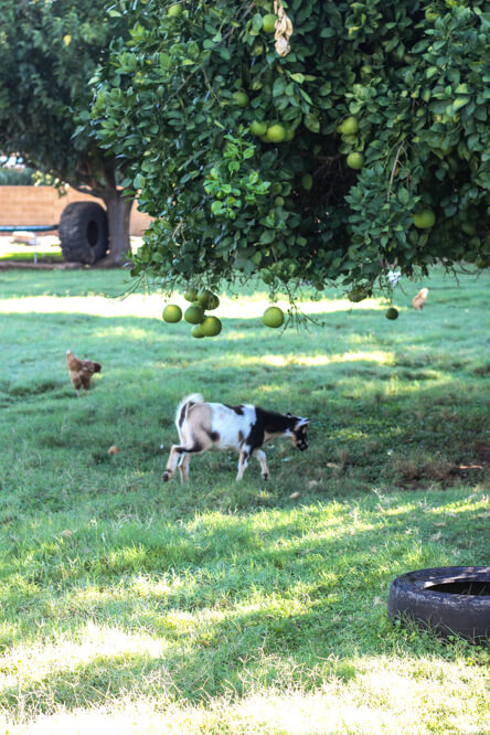 goat and chicken under tree on urban farm