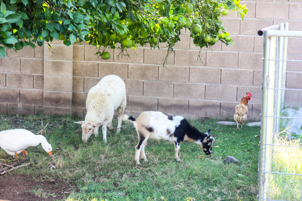 urban farm with goose, sheep, goat and rooster