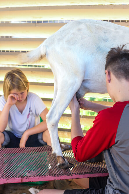 two children milking a goat on a milking stand