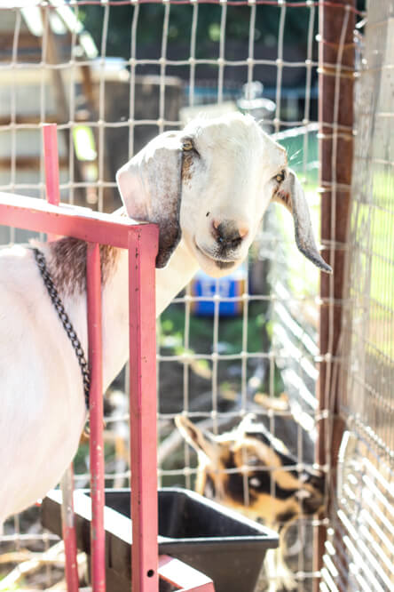 front view of goat on milking stand