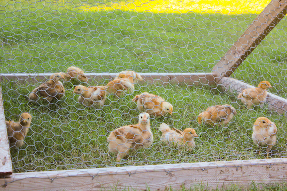 baby chicks in a chicken tractor