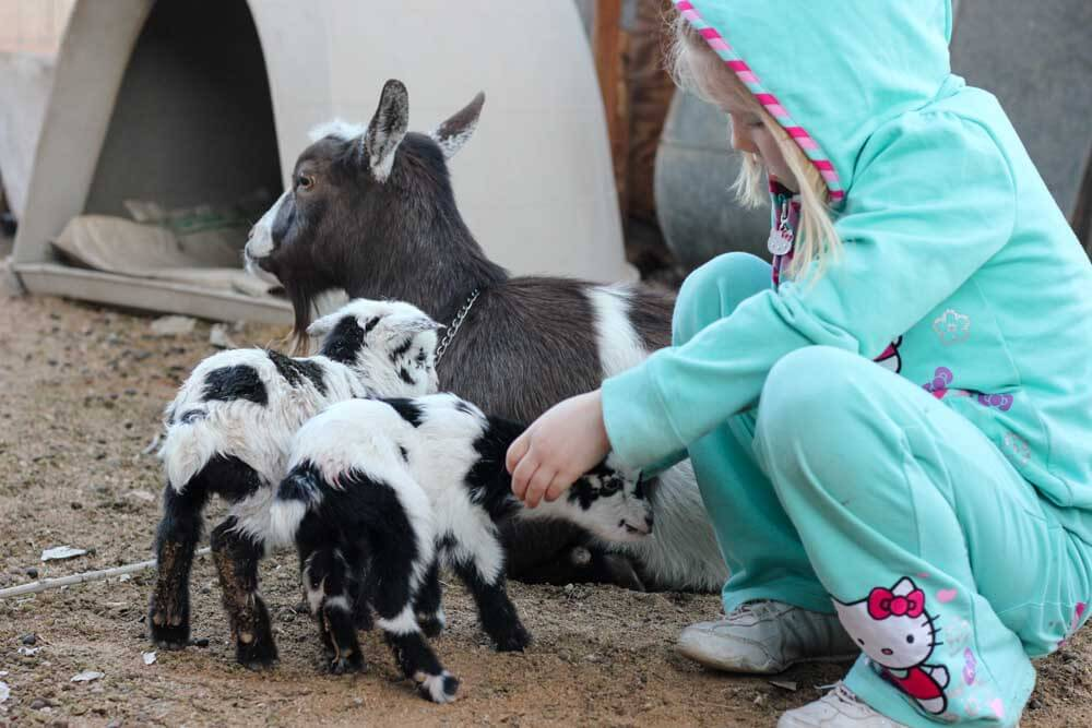 little girl with a black and white goat with two baby goat