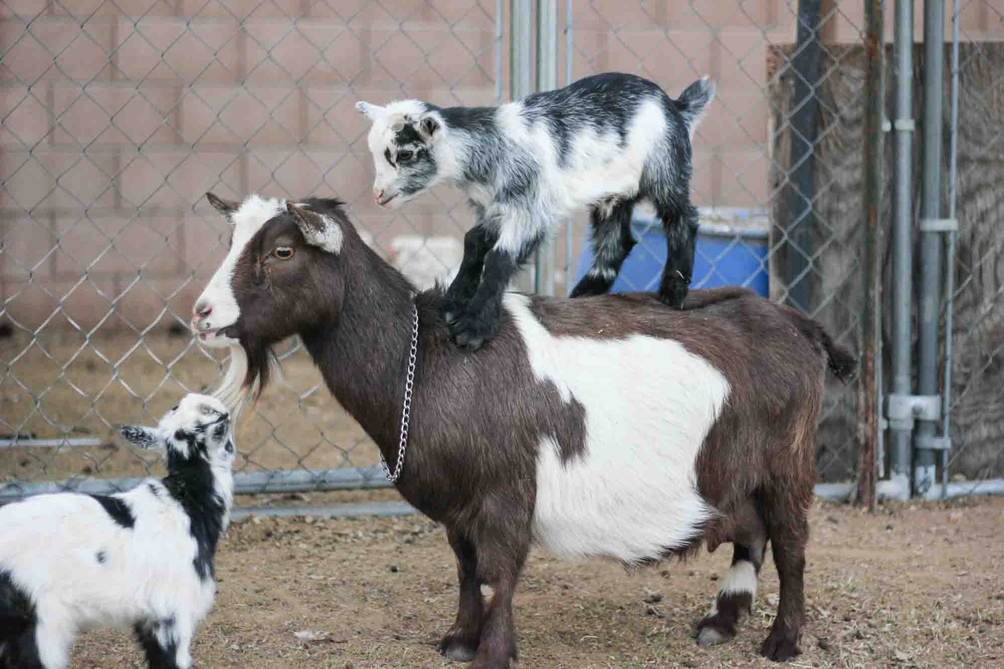 brown and white goat with two black and white baby goats, one on the goat's back