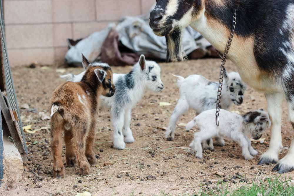 brown, black and white goat with four baby goats of various colors