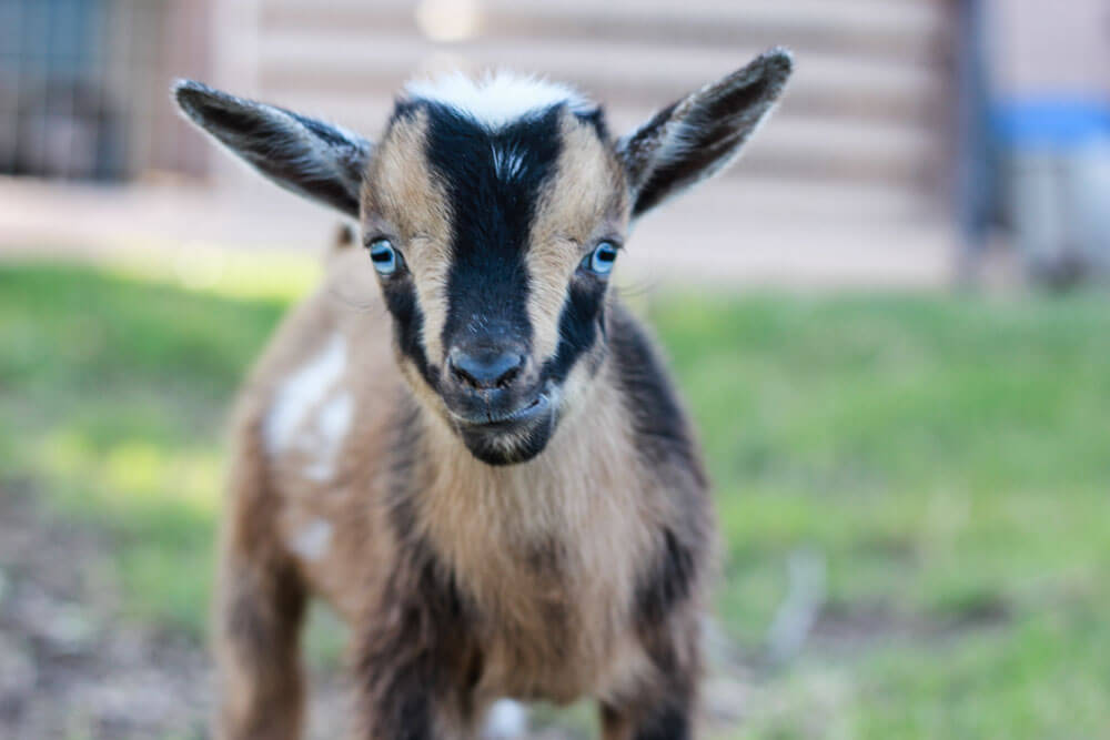 brown, black and white baby goat with blue eyes