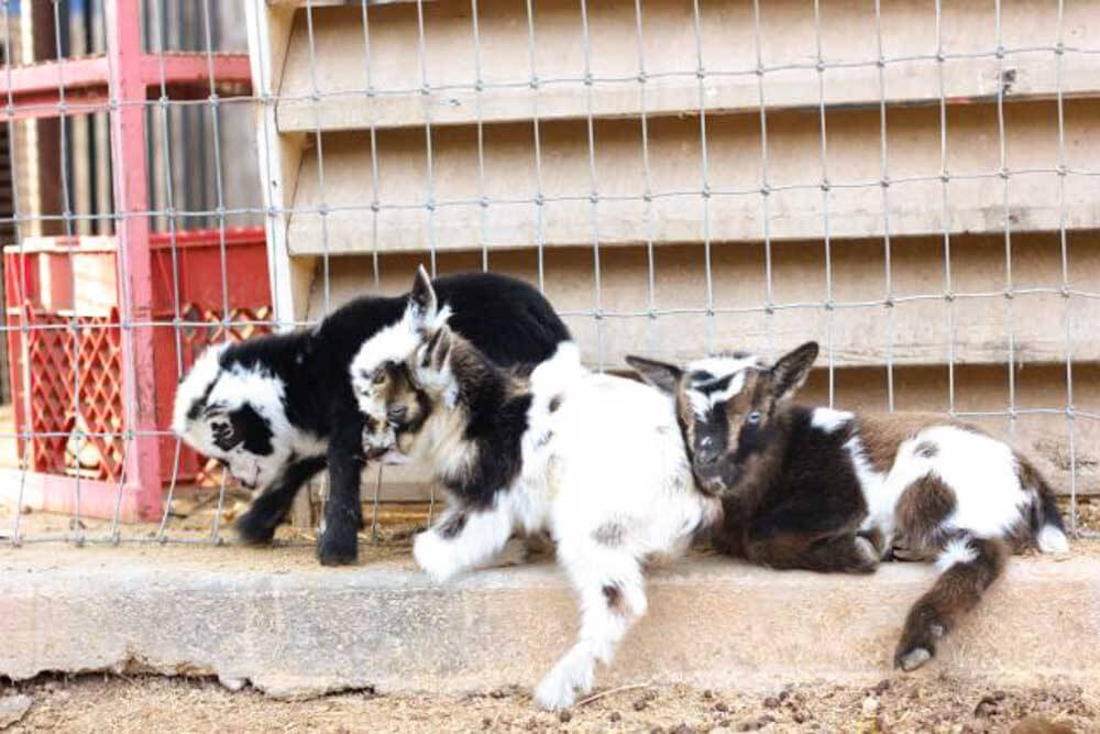 baby goats on a step next to a goat fence