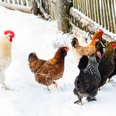How to keep chickens laying through the winter