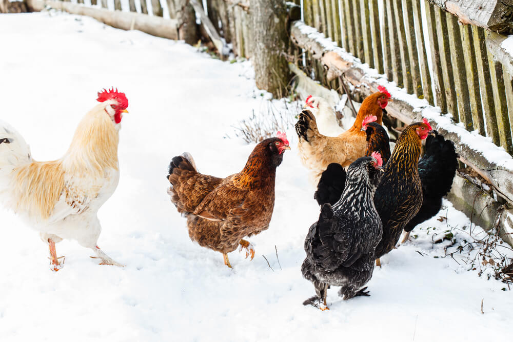 chickens near a wooden fence in the snow