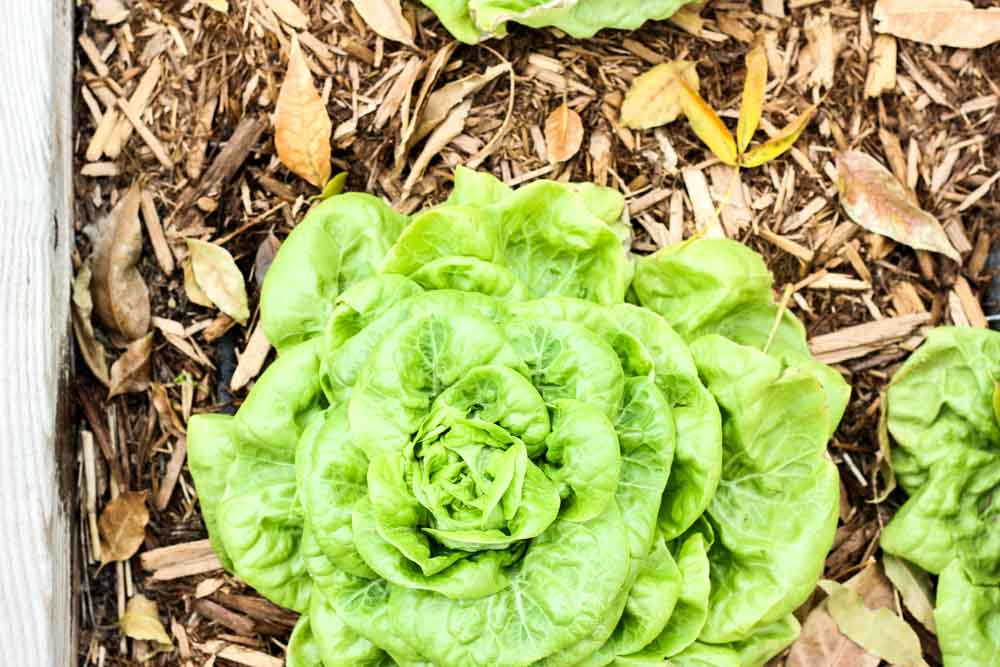 close up of lettuce head growing in a wood planter with wood chips