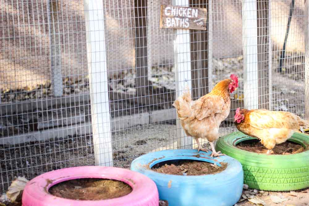 chickens playing in homemade dust baths